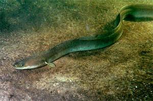 河口付近にはウナギカワアナゴ、スズキなどが生息